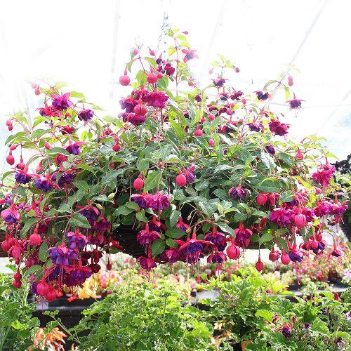 hanging-baskets-new-forest-scentsational-2
